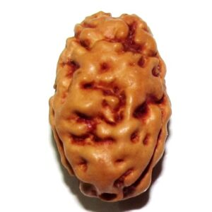 Two Face Rudraksha (java)