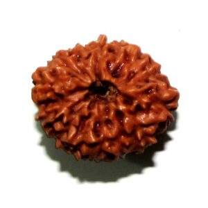 Fourteen Face Rudraksha   (java)
