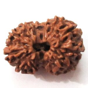 Thirteen Face Rudraksha    (java)