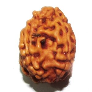 Four Face Rudraksha    (java)