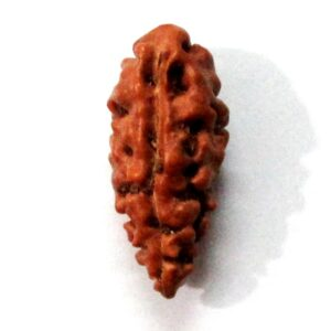 Collector One Face Rudraksha (java)