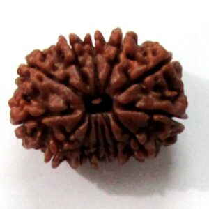 Thirteen Face Rudraksha (nepali)